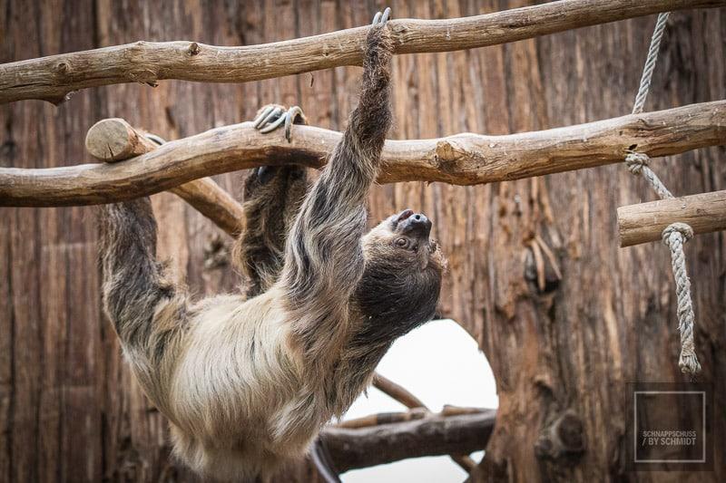 Zoo Dortmund - Faultier