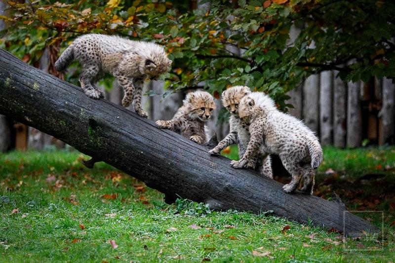 Allwetterzoo Münster - Gepardenkinder