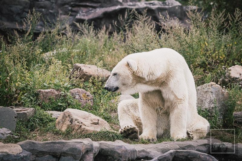 Zoom Erlebniswelt Eisbär 1