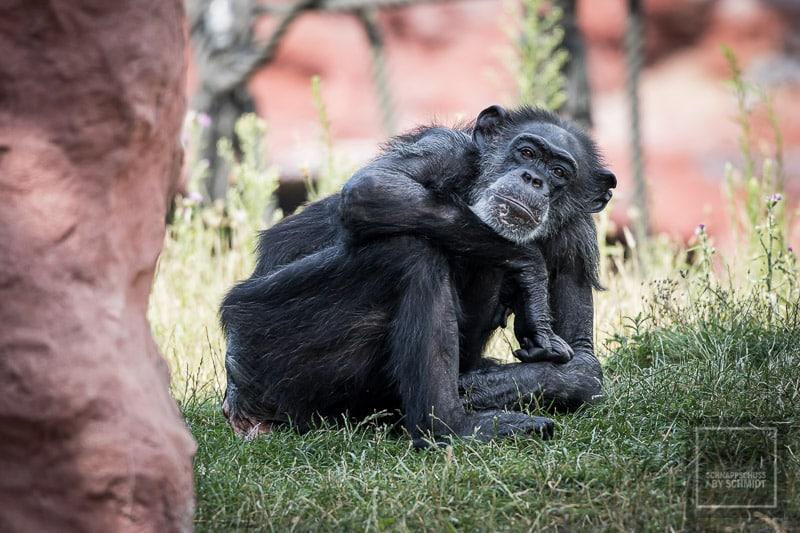 Zoom Erlebniswelt Schimpanse 2