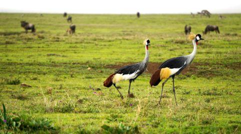 Ngorongoro_Krater_Kraniche
