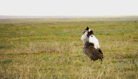 Ngorongoro_Krater_Trappe