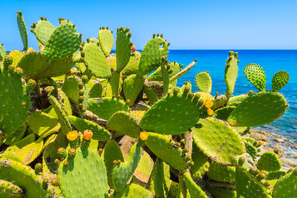 Kaktus - Sardinien i Italien