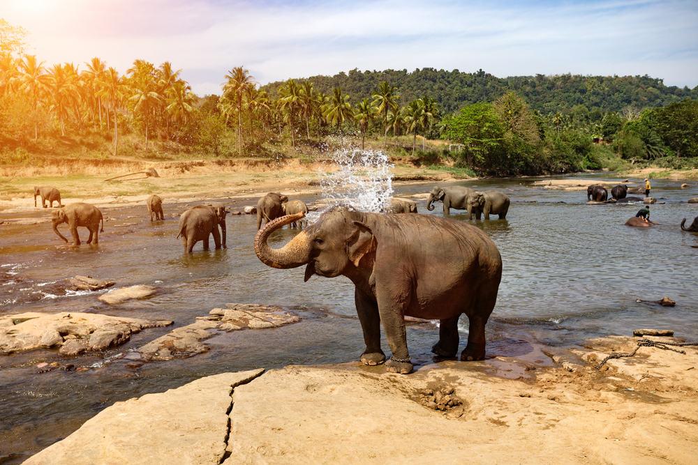 Elefanter - Sri Lanka