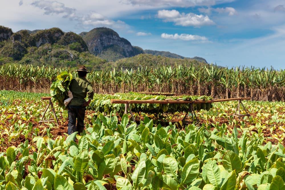 Tobaksplantage på Cuba