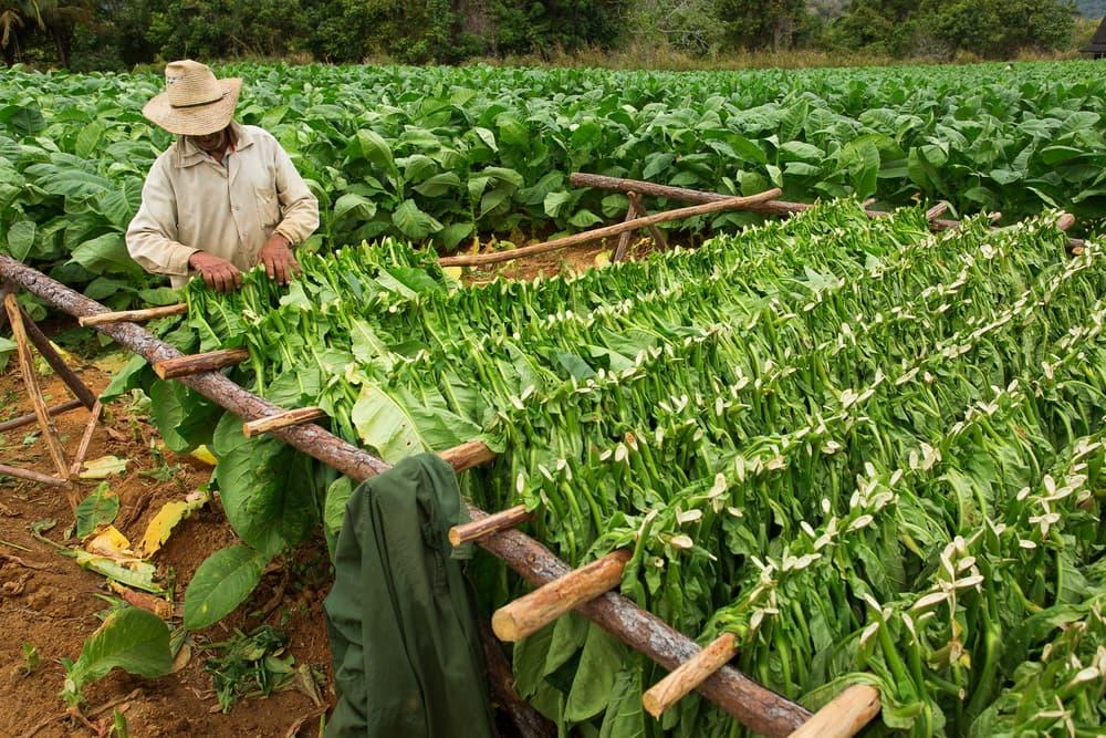Tobaksbonde på Cuba