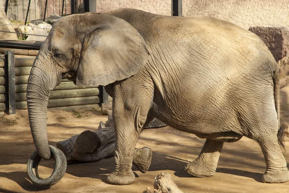 En elefant som med sin snabel løfter et dæk i Barcelona Zoo.
