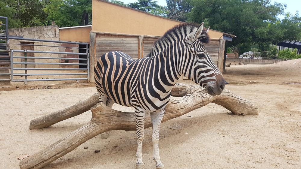 En zebra i Barcelona Zoo.
