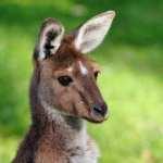 Australien - kænguru, wallaby - rejser
