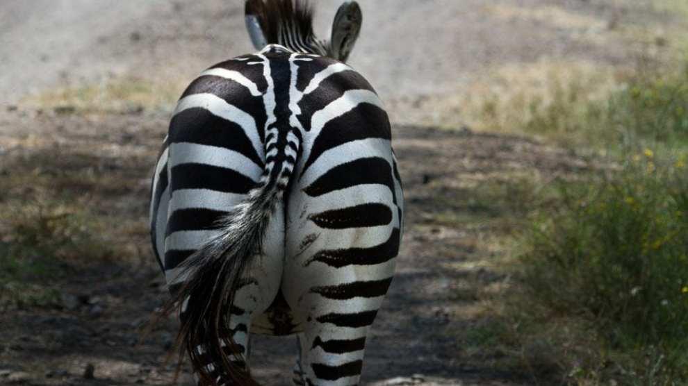 Zebra, Østafrika, Kenya - rejser
