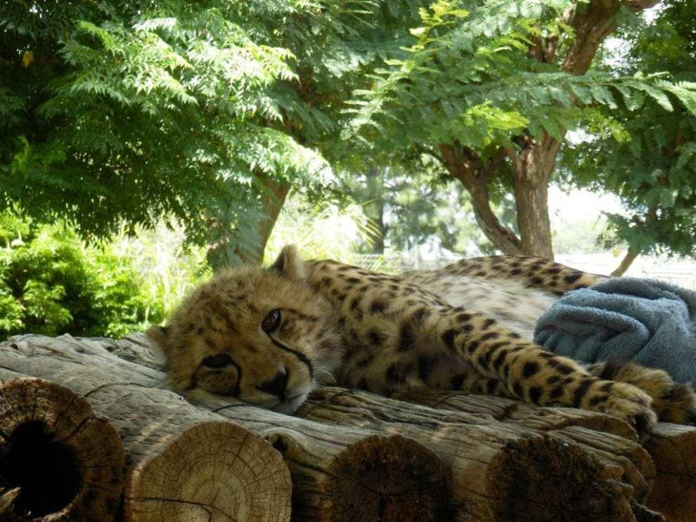 Namibia - gepard, Maries billede - rejser