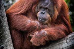Indonesien - Borneo, orangutan - rejser