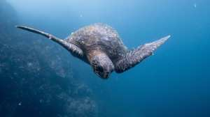 Ecuador - Galapagos, skildpadde - rejser