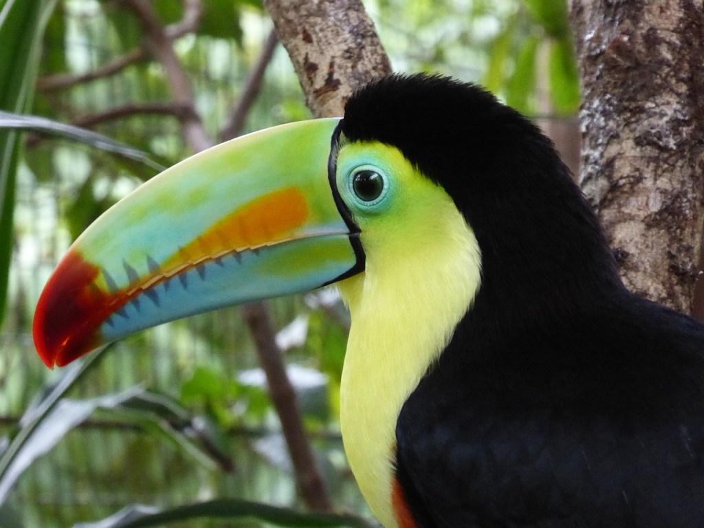 Costa Rica - Tukan - rejser