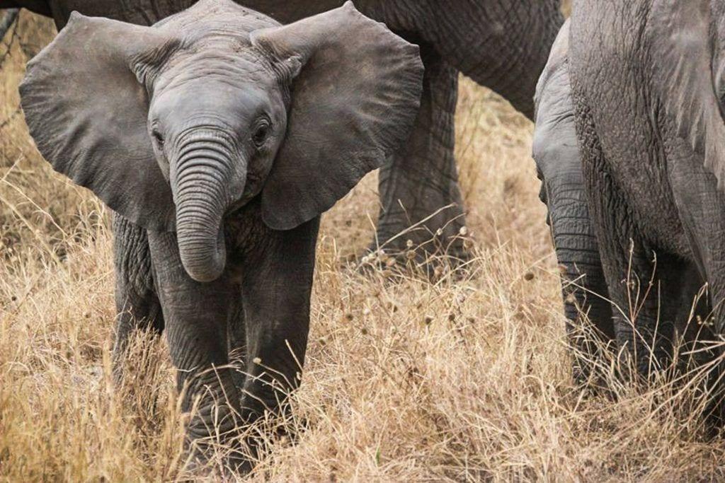 Babyelefant - Serengeti