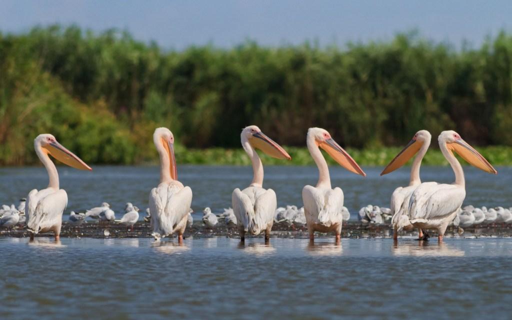 Europa Rumænien Flamingo Donau