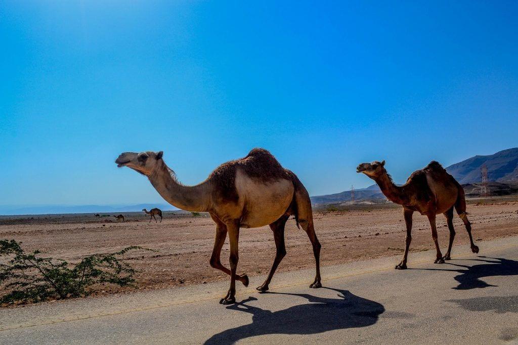 Oman - Dromedarer