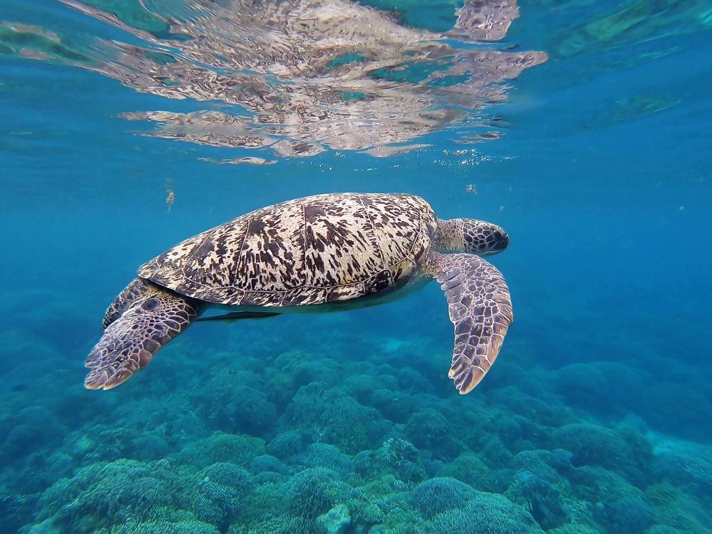 havskildpadde skildpadde rejser