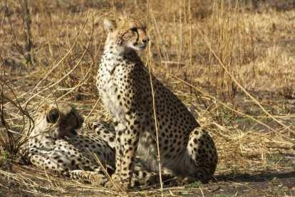 Gepard - Tanzania