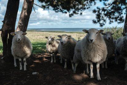 Orø - Danmark - får - rejser