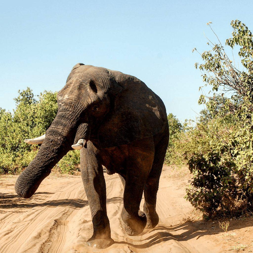 Bocvana - slonova priroda savane - putovanja