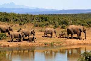 Südafrika Safari Elefant
