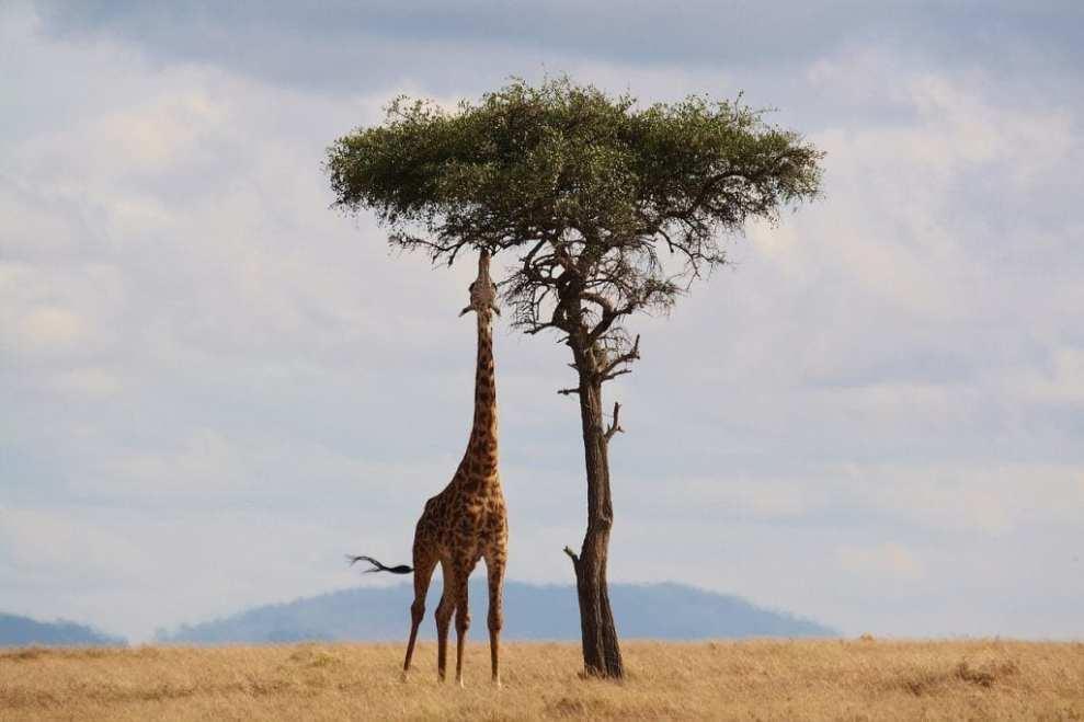Kenya - safari, giraff - resa