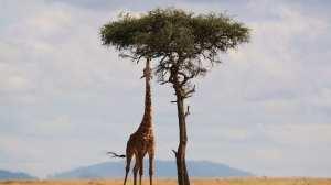 Kenya - safari, giraffa - viaggio