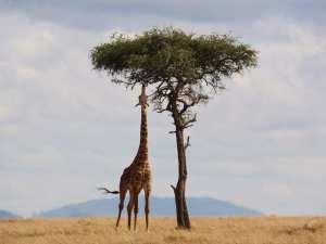 Kenya - safari, giraffe - paglalakbay
