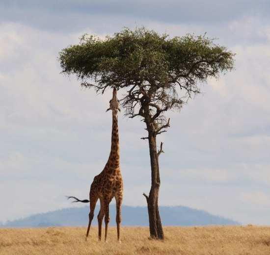 Kenya - safari, giraf - rejser