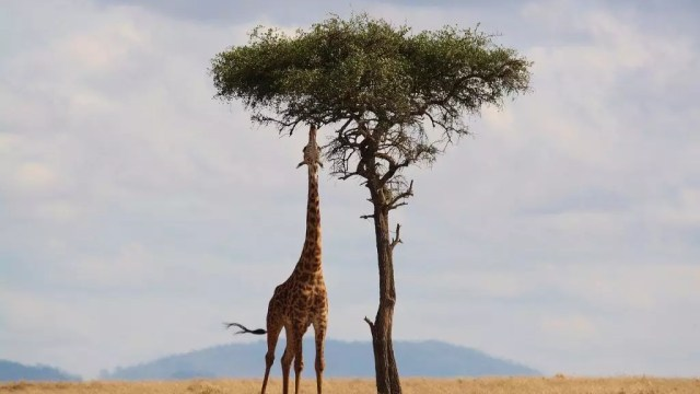 Kenya - safari, giraffe - travel