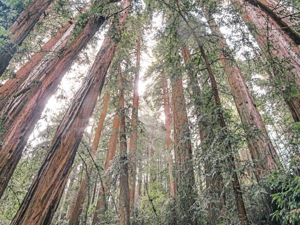 USA - Californiien, træer, natur, muir woods - rejser