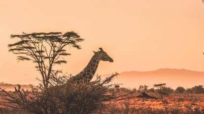 giraf - safari - sydafrika