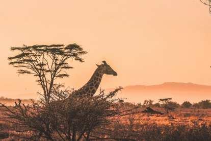 giraffa - safari - sud africa