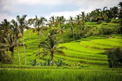 Rice fields - Bali - Travel