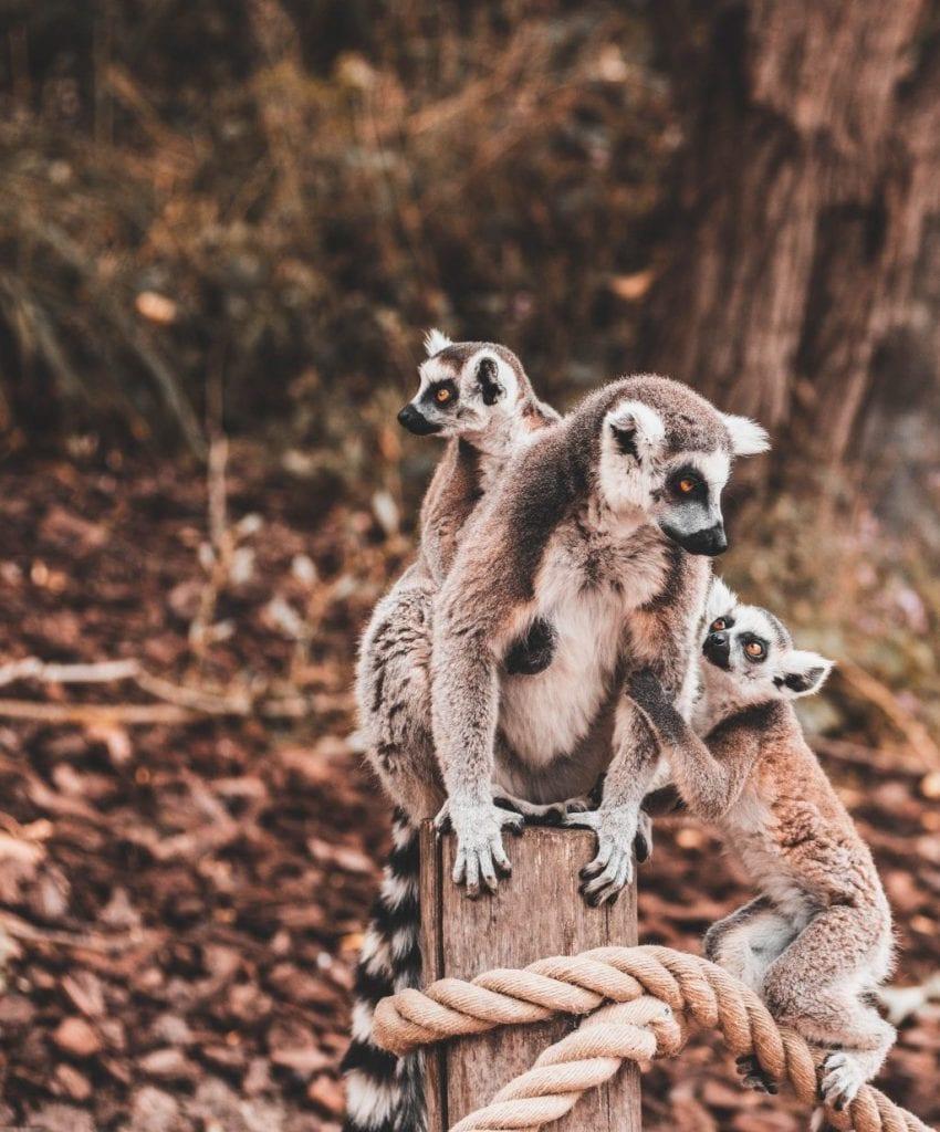 madagaskar - lemurer - resa