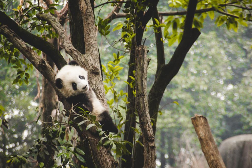 China - Chengdu panda - travel