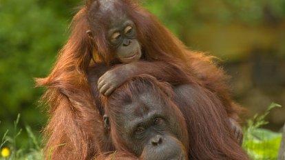 Orangutanger - Borneo, Indonesien - rejser