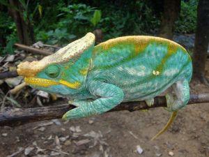 Caméléon - Madagascar - Voyage