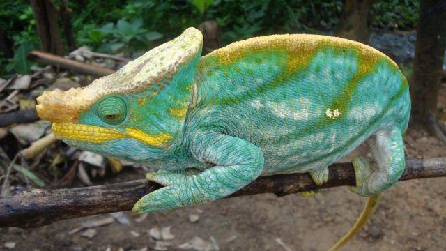 Chameleon - Madagascar - Travel