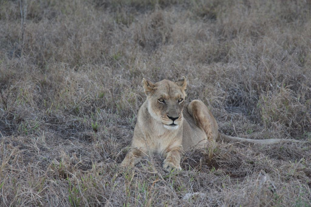 Swaziland - safari - løve - rejser