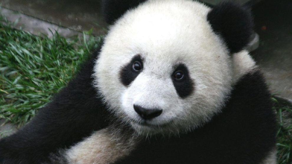 China - Panda - Travel