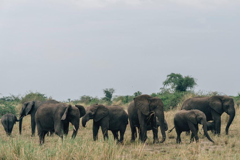 Uganda National Park Elefantflok Elefant Rejser