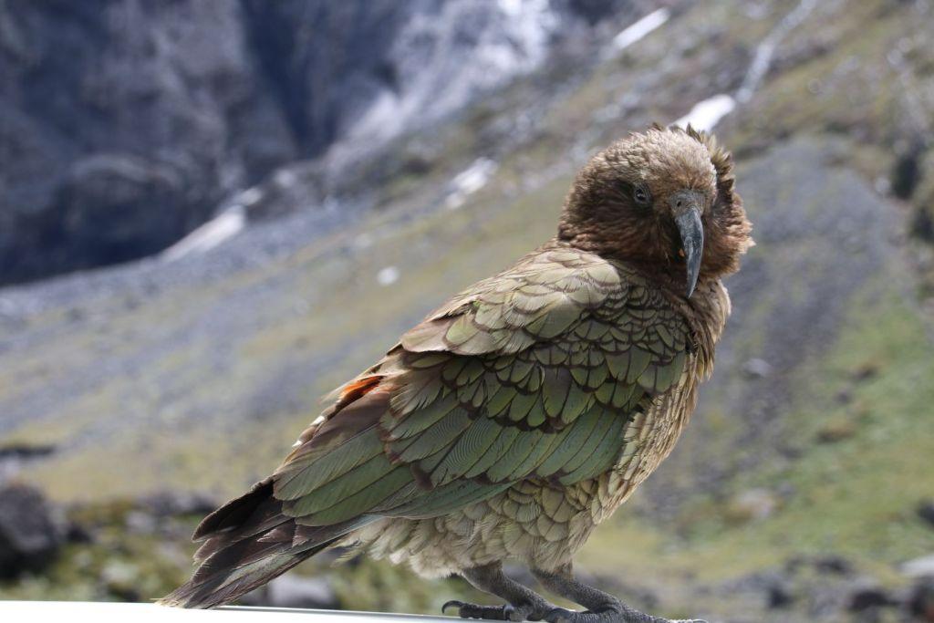 New Zealand South Island Milford Road Keafugl Travel