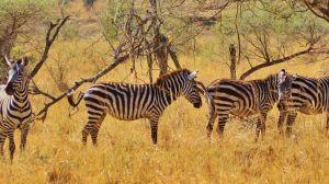 Afrika Tanzania Zebra Rejser