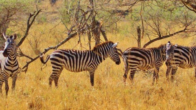 Africa Tanzania Zebra Travel
