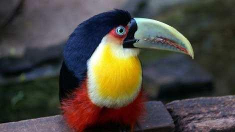 Brésil - Toucan - Voyage