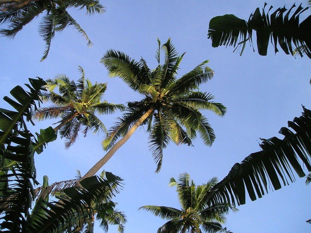 Samoa - rejse til Samoa palmer - rejser