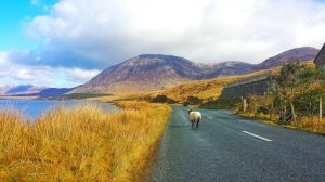 Irland - vej - får - kyst