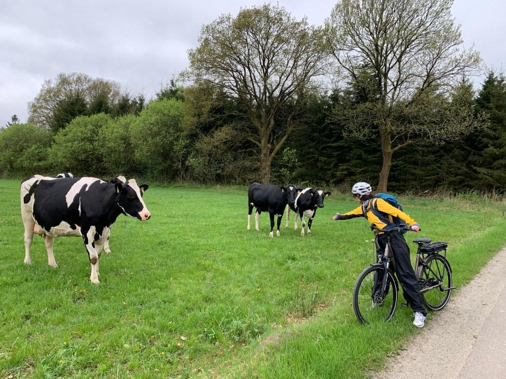 Krave, krava, Jutland, drveće, bicikl, biciklista, Jutland, Danska